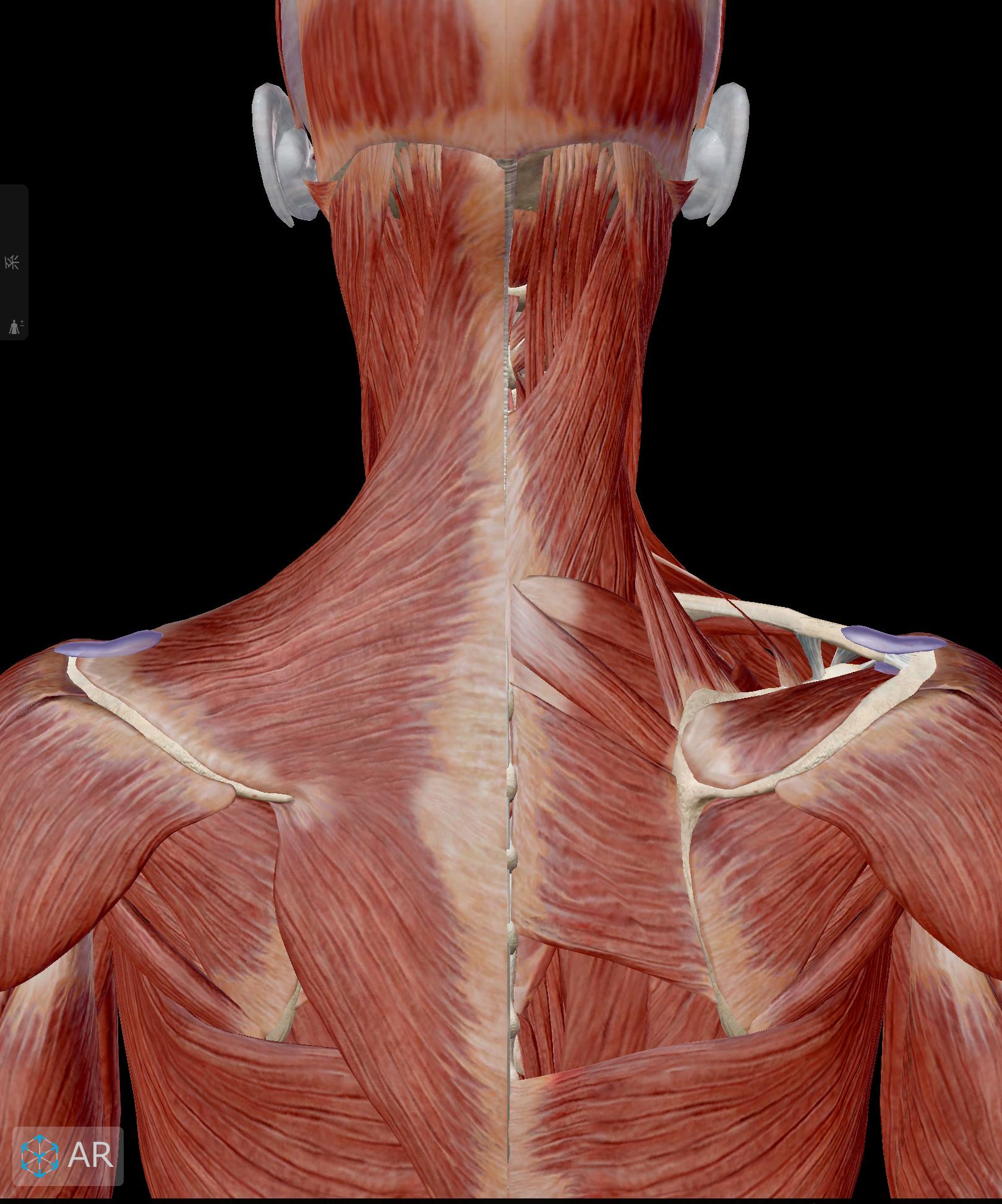首の解剖図